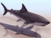 Sharks animaux  5